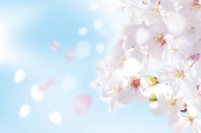 桜の見頃はどれくらい続くのか、というのも気になりますよね。