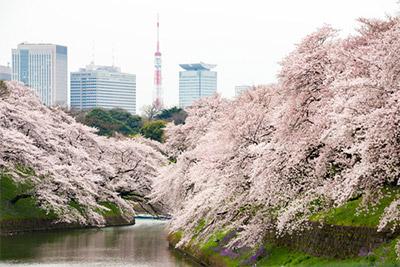 3月の見頃時期を過ぎても東京では桜を見れる