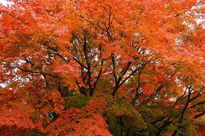 例年11月上旬から11月下旬がベストシーズンになります。